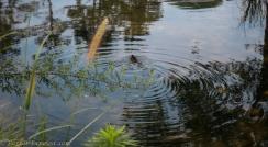 Namsan duckling